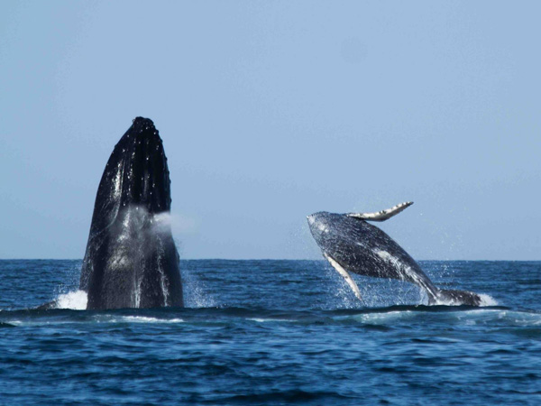 Portada de Whale watching in Punta Sal