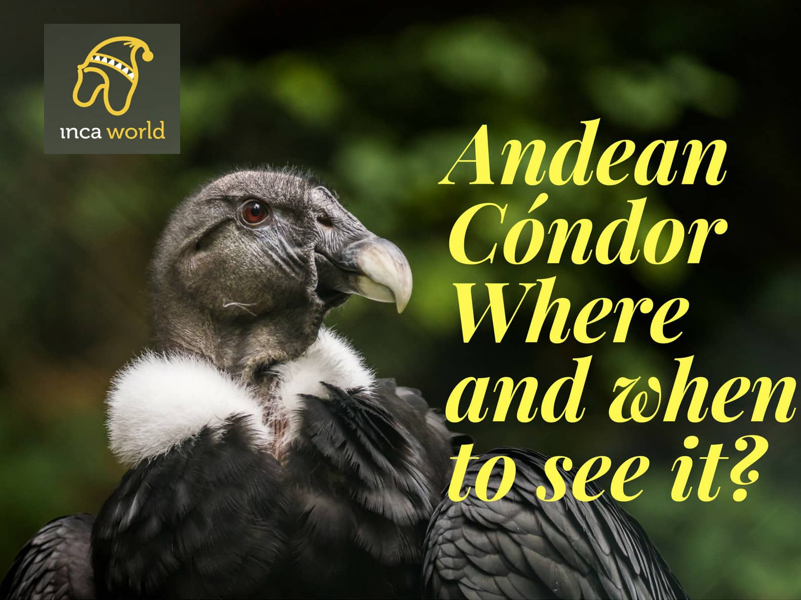 Portada de Andean Condor, where and when to see it?